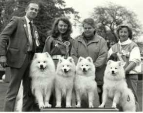 Four Samoyeds at a Show